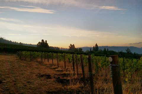Our First Estate Pinot Noir Harvest – Sunday, September 24, 2017