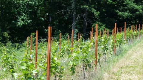 Bells Up's Seyval Blanc Planting Featured in June 2018 Issue of Oregon Wine Press