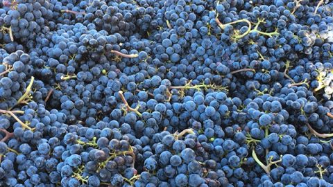 Harvest 2016: September 24 Syrah and Pinot Process-fest Recap