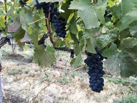 Dave and Dan's Excellent Adventure: Roadtrip to Pick Up the 2016 Syrah Harvest Recap