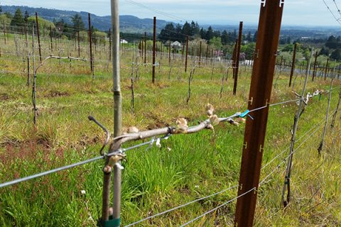 Bells Up Estate Vineyard Report 2017