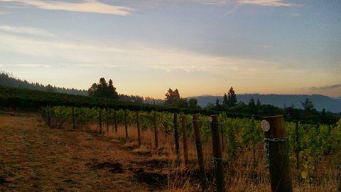 Our First Estate Pinot Noir Harvest – Sunday, September 24, 2017